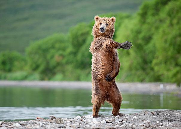 funny-bears-doing-human-things-26